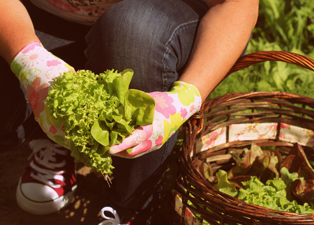 woman picking fresh lettuce from her garden .Lettuce put in a basket