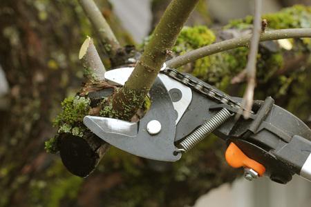 gardener pruning old fruit tree with pruning shears Stockfoto