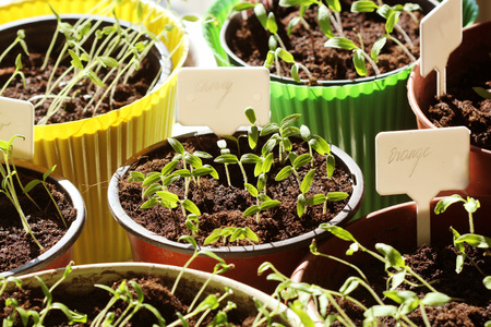 Young tomato seedlings with plastic tags in pots