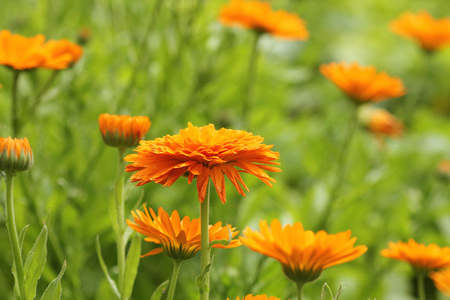 Orange pot marigold bloosom - Calendula officinalis field . 免版税图像