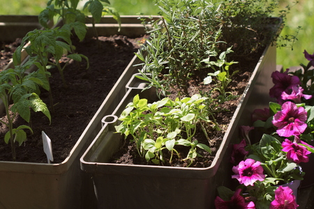 Container vegetables gardening. Vegetable garden on a terrace. Herbs, tomatoes seedling growing in container . Flower petunia in pots