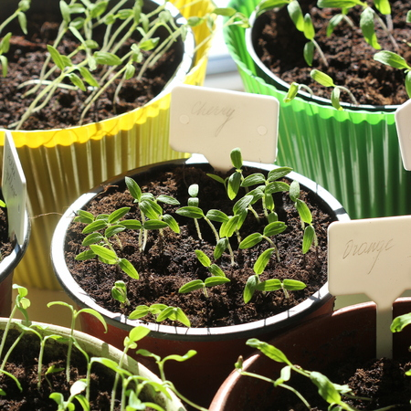 Young tomato seedlings with plastic tags in pots .