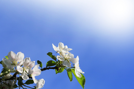 Spring background. Beautiful branch apple tree blossoms against a blue background . Stock Photo