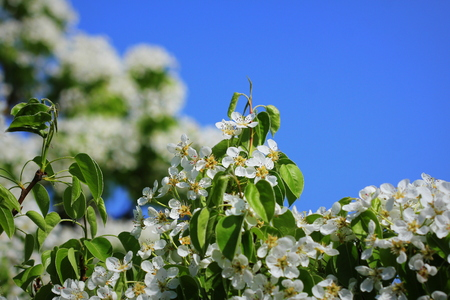 Spring background. Beautiful branch pear tree blossoms against a blue background Stock Photo