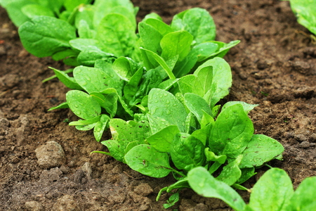 Fresh organic leaves of spinach in the garden Stock Photo