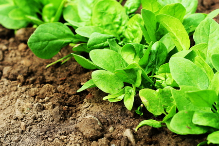 Fresh organic leaves of spinach in the garden. Green spinach in growth in springtime Stock Photo