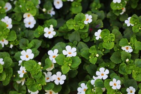 """Bacopa monnieri, kruid Bacopa is een geneeskrachtig kruid dat wordt gebruikt in de Ayurveda, ook bekend als """"Brahmi"""", een kruidengeheugen"""