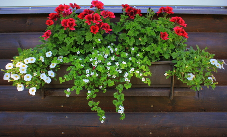 Red and white flowering plants in a flower box in the window sill . Geranium, petunia and bacopa flower growth in pot