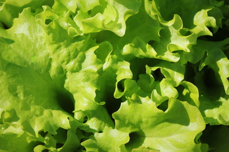 Green lettuce growing in the garden, growing. Healthy vegetarian food
