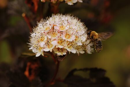 Blooming cultivar common ninebark (Physocarpus opulifolius Summer Wine) in the summer garden Фото со стока