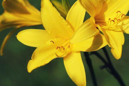 Branch of flower Hemerocallis lilioasphodelus (also called Lemon Lily, Yellow Daylily, Hemerocallis flava). Hemerocallis flava Known also as Lemon day-lily, Lemon Lily and Custard Lil