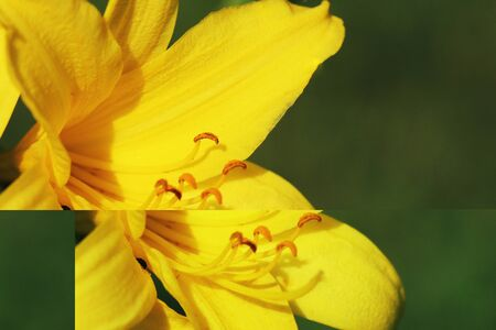 Branch of flower Hemerocallis lilioasphodelus also called Lemon Lily, Yellow Daylily, Hemerocallis flava .