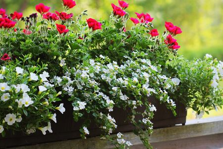 Red and white flowering plants in a flower box in the window sill . Geranium, petunia and bacopa flower growth in pot . Фото со стока