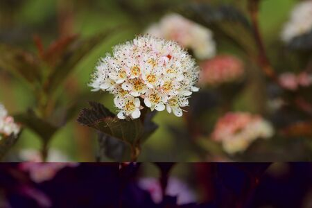 Blooming cultivar common ninebark ,Physocarpus opulifolius Summer Wine, in the summer garden .