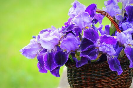 Blue iris flowers growing in basket, green background. Lot of irises or Iris germanic .