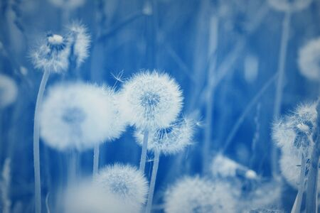 field of dandelion seeds blowing. stems and white fluffy dandelions ready to blow.