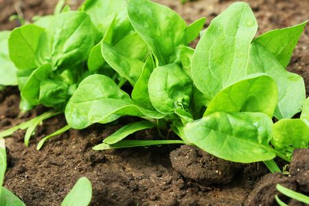 Fresh organic leaves of spinach in the garden . Stock Photo
