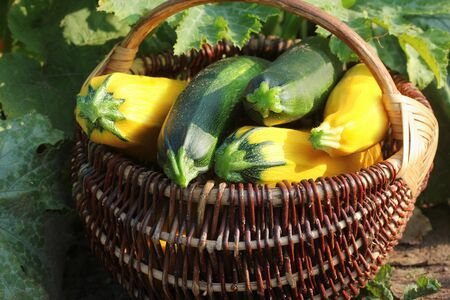 Harvesting zucchini. Fresh squash lying in basket. Fresh squash picked from the garden. Organic food concept