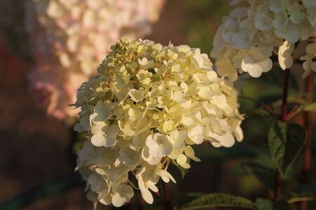 Brightening things up. Pink hydrangea in full bloom. Blossoming flowers in summer garden. Hydrangea blossom on sunny day. Flowering hortensia plant. Showy flowers in summer. Фото со стока