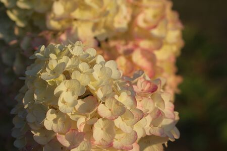 Pink hydrangea in full bloom. Blossoming flowers in summer garden. Hydrangea blossom on sunny day. Flowering hortensia plant. Showy flowers in summer.