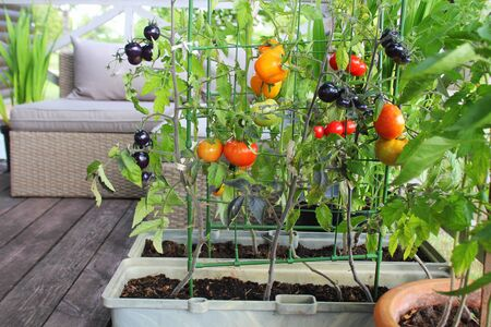 Container vegetables gardening. Vegetable garden on a terrace. Red, orange, yellow, black tomatoes growing in container