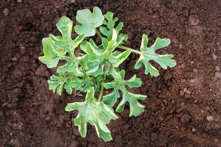 Young watermelon seedlings growing on the vegetable bed. Top view