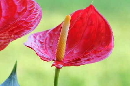 Red Flamingo flower,Anthurium andraeanum, Araceae or Arum on blurred background Stock Photo
