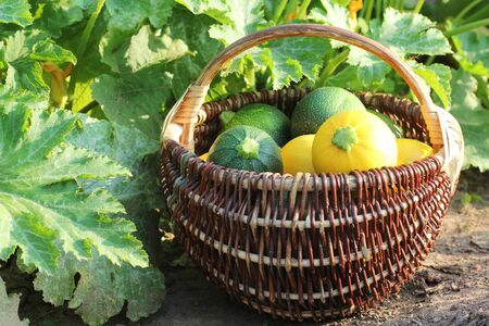 Harvesting zucchini. Fresh squash lying in basket. Fresh squash picked from the garden. Organic food concept . Standard-Bild