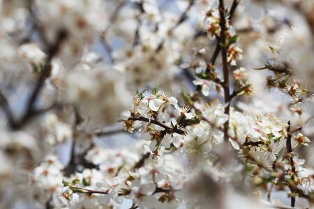 Beautiful nature scene with blooming tree on green background. Spring flowers . Photo of beautiful plumy blossom, floral wallpaper, soft focus, little white flowers on tree branch