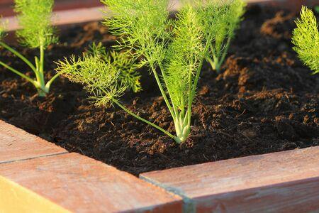 Raised bed gardening. Fennel plant growing in garden