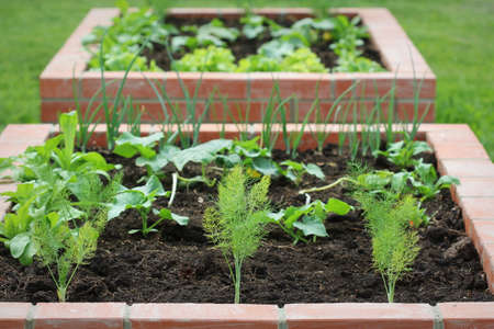 Raised beds gardening in an urban garden growing plants herbs spices berries and vegetables. Harvesting lettuce .