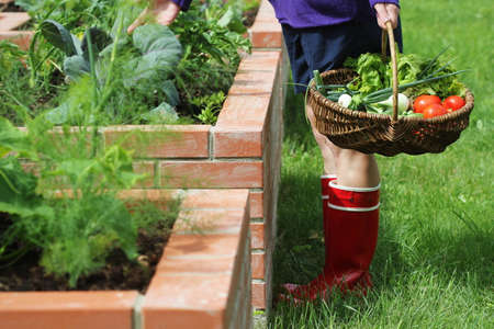 Woman gardener picking vegetables .Raised beds gardening in an urban garden growing plants herbs spices berries and vegetables .