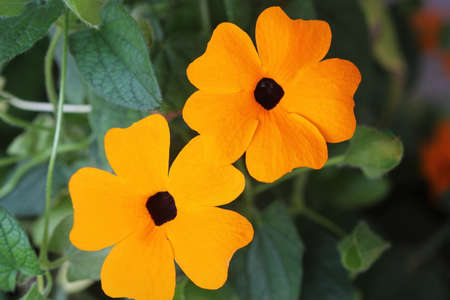 Thunbergia, commonly known as orange clockvine or orange trumpet vine .