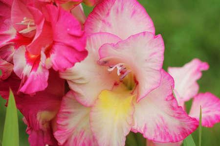 Pink gladioles Gladiolus flower. Spring garden with gladioles . Groups gladioles, sword lily, sword grass of green background .