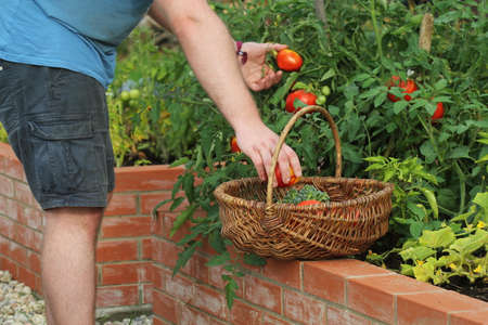 Gardener picking vegetables .Raised beds gardening in an urban garden growing plants herbs spices berries and vegetables .