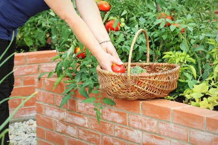 Gardener picking vegetables .Raised beds gardening in an urban garden growing plants herbs spices berries and vegetables