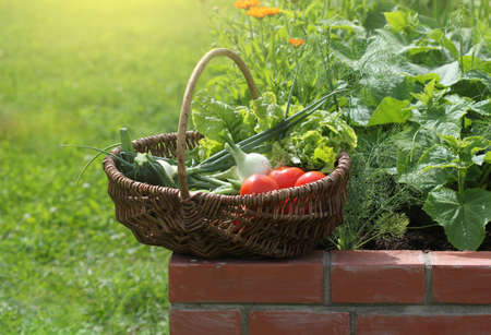 Basket with vegetables. Raised beds gardening in an urban garden growing plants herbs spices berries and vegetables . Banco de Imagens