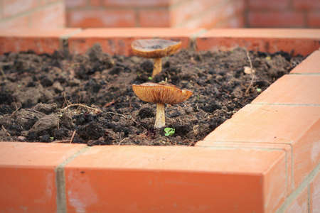 A modern vegetable garden with raised briks beds with mushrooms . Raised beds gardening in an urban garden growing plants herbs spices berries and vegetables .