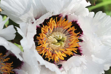 Big White Peony or Paeony flower head, close up. Blooms white delicate flower .