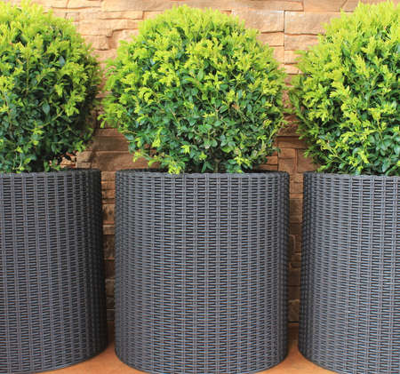 Three modern pots with spherical trimmed decorative Buxus tree 写真素材