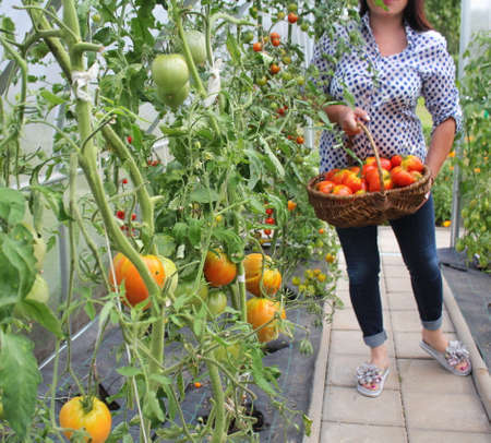 Harvest of tomatoes picking in the green house. Big beef tomato in basket .. 写真素材