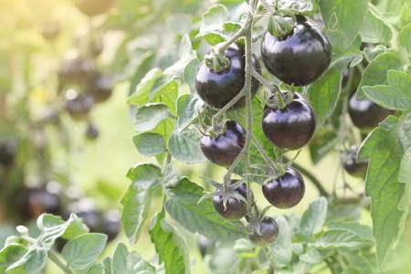 Indigo Rose Black tomato vine ripe in the garden .