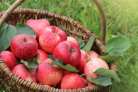Healthy Organic Apples in the Basket on green grass in sunshine .