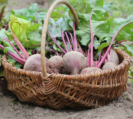 Fresh harvested beetroots in basket, organic beets with leaves growing on bed .