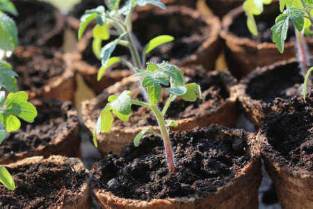 Potted seedlings growing in biodegradable peat moss pots . Gardening concept .Young tomato seedling sprouts . 写真素材