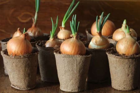 Young seedling of onion growing in pot on windowsill . Gardening concept.