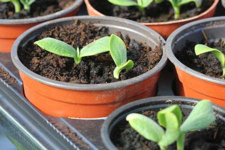 Growing young and green pumpkin seedlings in pots, Gardening background . Foto de archivo