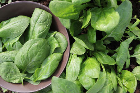 Farmer in the garden harvesting spinach, fresh farm vegetable, harvest in organic farm .