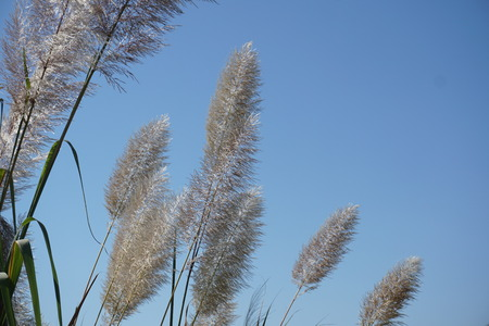 White feather pampas grass on blue sky background Banque d'images