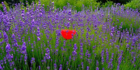 lavender field photo